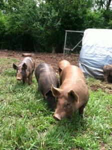 pigs 2013